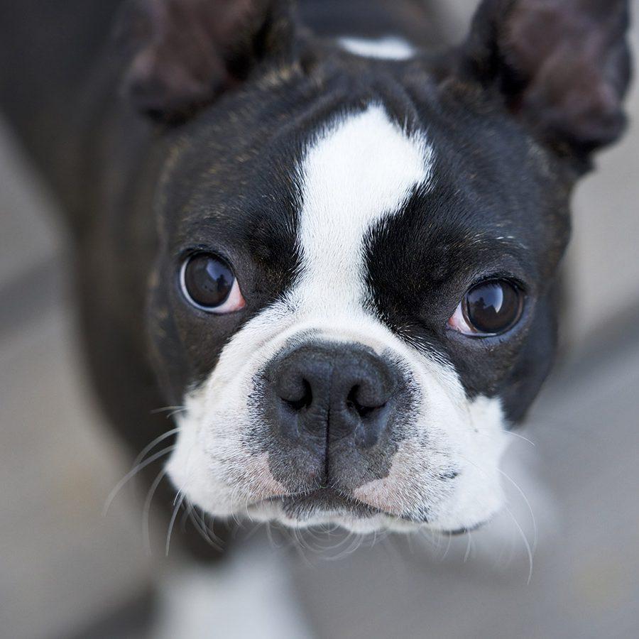 igorthegoodboy-on-ig-boston-terrier-G_7WU5AFBvQ-unsplash